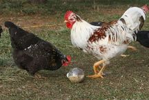 Henry and the Ladies / Ideas for our Chickens