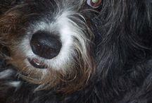 Smithfields / Cattle dogs from Tasmania