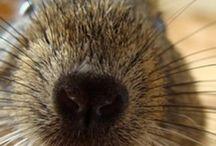 Degu, topoloni ed altri animaloni / Una moltitudine di Gigetti