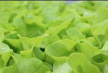 Gemüse / Salatjungpflanzen, Tomatenpflanzen und vieles mehr...