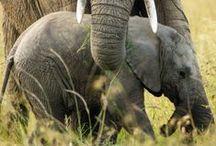 ELEPHANT - GIRAFFE . ZEBRA / by ~  I r e n e   ~