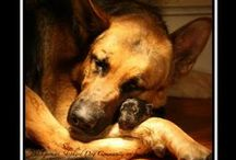 German Shephards  / The breed I love!! Something about those beautiful brown eyes I can't resist:) / by Kim Wilkey