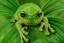 Animal Planet: Feel'n FROGGY! / All things frog. / by April Conger