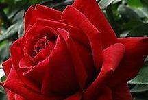 赤 ☩ 薔薇