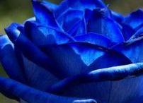 青 ☩ 薔薇