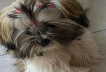 Sissy (shih tzu or lion dog)