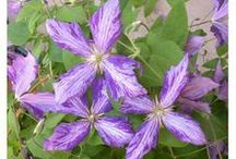 Rhapsody In Blooms / Great selection of Clematis for sale on Blooming Secrets.