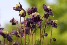 Schaduw Planten / Vaste schaduw - zon planten
