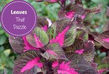 Leaves That Dazzle / Learn more about gardening foliage. There are many plants that have beautiful foliage that can be added to your garden to add color, variety, and pizzazz.