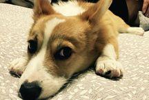 WelshCorgi Moon's Story / Welshcorgi dog
