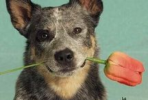 Aussie Cattle Dog