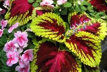 Shade Gardens / Shade gardens and containers are those that need 4 hours or less of direct sunlight. These varieties are perfect for shade gardening with great color!