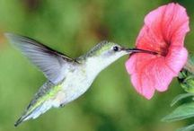 Pollinator Gardens / Here are tips on how to build a garden that is good for pollinators like bees, butterflies, moths and hummingbirds!