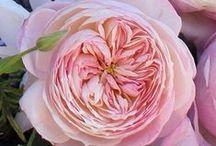 Constance - David Austin Garden Rose