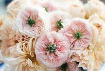 Charity - David Austin Garden Rose