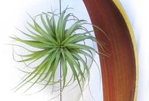 Air Plants - Tillandsia / Tillandsia or air plants are a growing trend among those who want to add a little green to their homes, without a lot of work