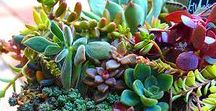 Succulents / These drought tolerant plants are becoming a favorite for both indoor and outdoor gardening.