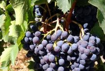 Burbank Ranch Grapes & Wine / From Burbank Ranch Vineyard in Templeton, CA, in the Paso Robles AVA, in the El Pomar area of the Templeton Gap.