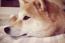 Lovely Shiba inu  / Simply the best!