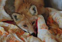 Rókák <3 / Imádom a rókákat!!!! És kifejezetten szeretem a róluk készült képeket festményeket  :D