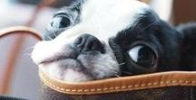 BOSTON TERRIERS / Photos, quotes about Boston Terriers