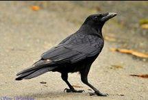 Crows & Ravens