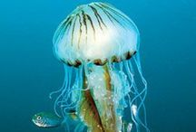 Jelly fish - meduse