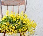Mimosa / La mimosa: un fiore forte, determinato, che sopravvive l'inverno per annunciare per primo il nuovo inizio della vita, la primavera. Il fiore perfetto per celebrare la Festa della Donna/ To all women that never put limits to creativity we wish a beautiful Women's day