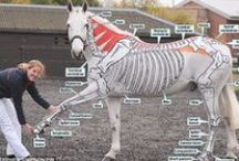 HORSE EDUCATION (anatomy/tack/health/4H) / illustrations of horse anatomy and great learning tools for kids/4-H and adults as well!! *NO LIMITS* PLZ FEEL FREE TO PIN ANY AND ALL OF MY PINS!! I try hard not to have doubles in my albums if you see any, plz msg me on the pic so I can remove it!