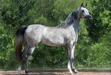 """HORSE Elegant breeds/Arabians / mostly Arabians, or any other """"elegant"""" looking horses!  *NO LIMITS* PLZ FEEL FREE TO PIN ANY AND ALL OF MY PINS!! I try hard not to have doubles in my albums if you see any, plz msg me on the pic so I can remove it!"""