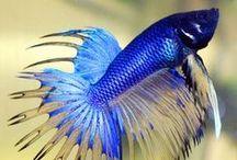 FISH Tank fish-Betta's & other