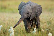 Bntg Gajah / Inilah spesies penting yang menjadi semacam payung untuk spesies lain. Gajah adalah lambang keindahan sejak dulu kala.