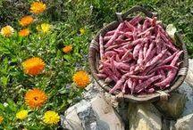 Cómo cultivar.... / Cómo cultivar hortícolas y aromáticas en huertos urbanos. Guías de cultivo.
