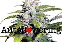 Marijuana Love / For the love of marijuana