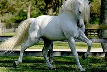 """Andalusian Spirit / My next horse for sure! A grey/white Andalusian gelding.....here is my dream board to attract that magical beast into reality!! """"Noble Andalusians, bred to be a partner through centuries of care, generous hearts and brilliant minds, make a lovely dancing pair."""" ~B.R. / by Sandra Beaulieu"""