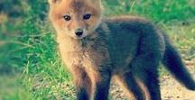 Ketut / Foxes / Fox art and photos for inspiration.