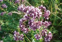 Herbal ( Gyógynövények )