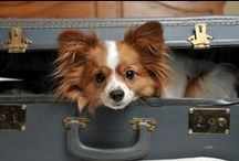 All About Papillon / French royal dog breed, elegant and intelligence.