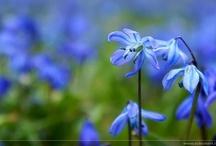 Flower ~ Power / i love blue flowers in spring ...