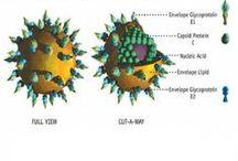 """Hépatite virale C / Au début des années 1970, les virus de l'hépatite A et de l'hépatite B sont identifiés, mais la moitié des hépatites virales restent sans étiologie, d'où la notion d'hépatites virales baptisées """"non A non B"""". Ce n'est qu'en 1989 que le virus responsable de la plupart de ces hépatites """"non A non B"""" est découvert : Il est appelé virus de l'hépatite C."""
