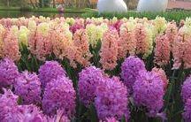 Hyacinths's world