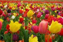 Tulips's world