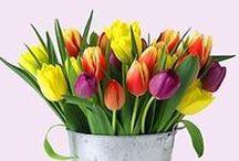 Tulipanes / tulips