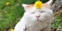 Shironeko Cat