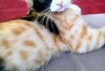 = ^ . . ^ = CATS - Calico