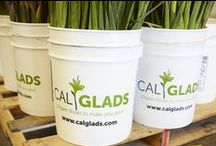 Cal-Glads / A Visit to CalGlads in Santa Maria, California - Home to the California Gladiolus Farm of Jeff and B. Hayden!