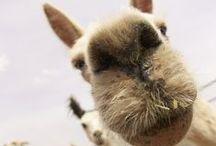 The Alpacas / Come enjoy some fun in the sun with the Alpacas! #alpacas #coolamon
