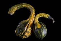 Thanksgiving Gourds / a collection of images featuring the Glory of Gourds