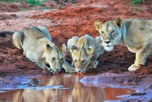 Wild Kenya Safaris - Game Drives / These are some of the wonderful animals you can see with us!