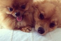Drogo&Monica / Pomeranian